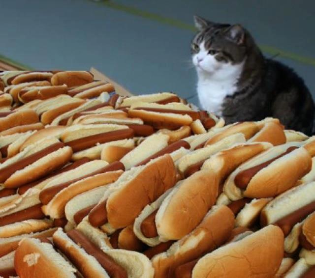hot dog cat